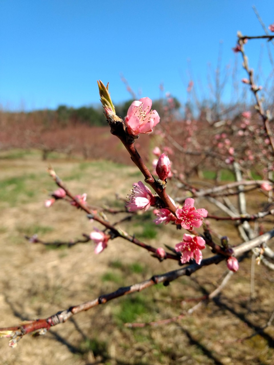 Peach blossoms in early spring